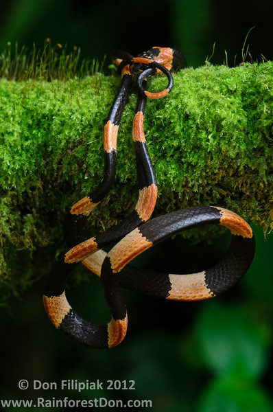 <i>Dipsas articulata</i> This thirst snake, also called snail suckers, eats mainly soft bodied prey- snails slugs, frog eggs... anything gooey