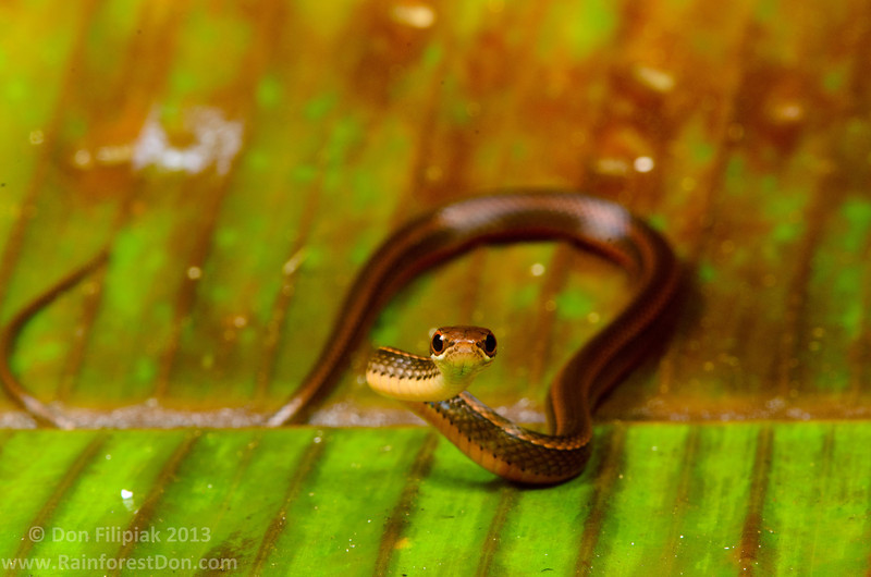 Red-bellied litter snake (<i>Rhadinaea decorata</i>) Rara Avis Rainforest Reserve, Costa Rica