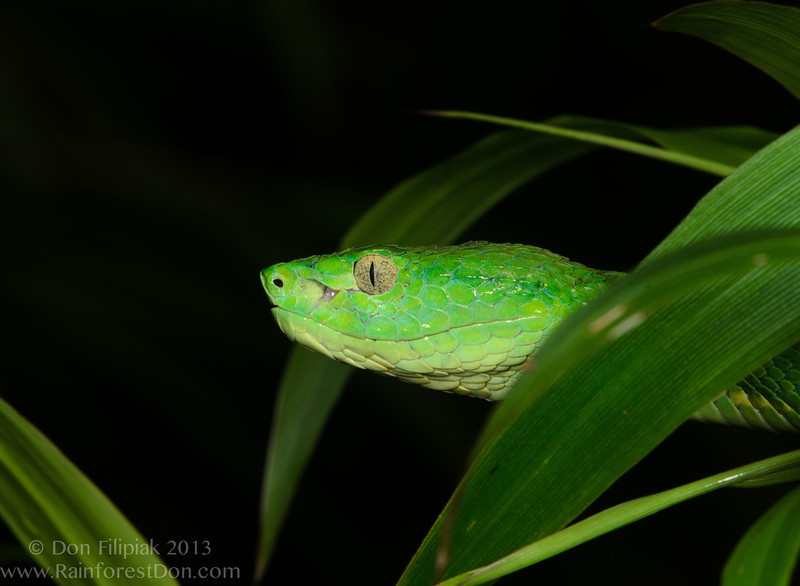Side-striped Palm Pitviper (<i>Bothriechis lateralis</i>) A highland species of viper from the montane rainforest of Costa Rica