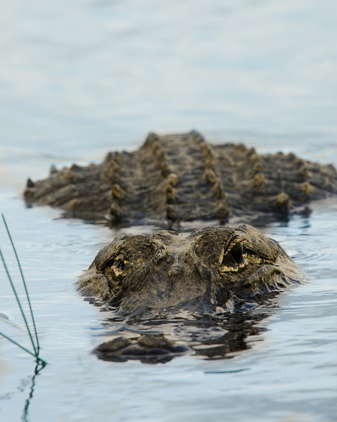 One-eyed American Alligator in the Florida Everglades