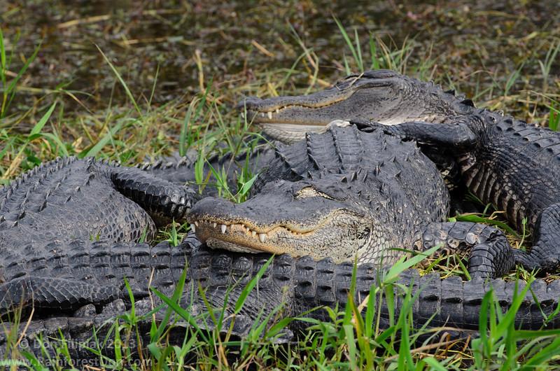 Alligator nap time<br /> Everglades National Park, Florida
