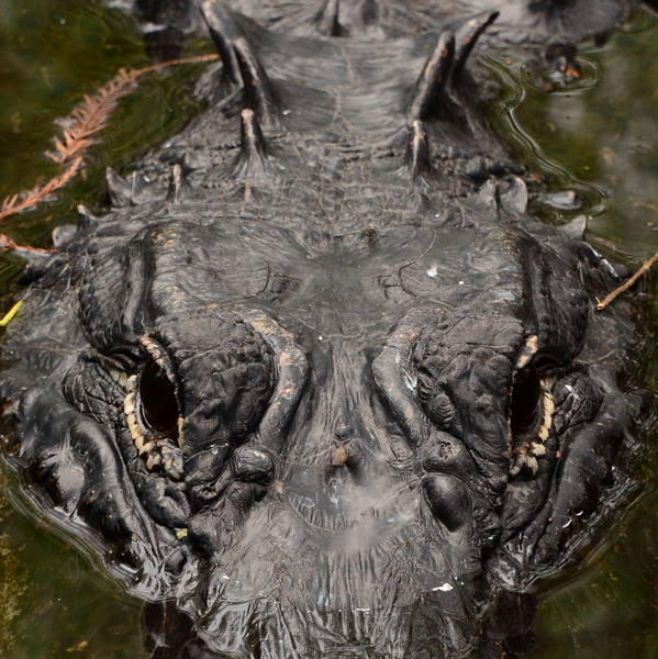 The topography of a giant American Alligator (<i>Alligator mississippiensis</i>)