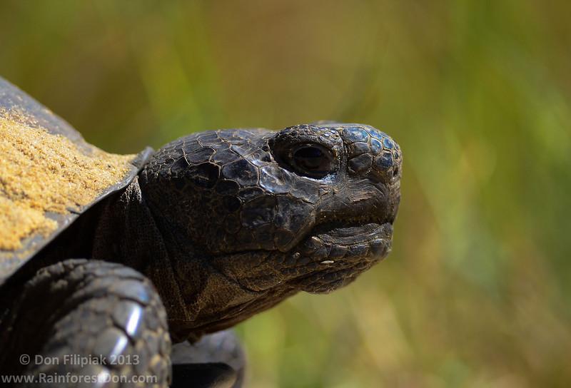 Gopher tortoise (<i>Gopherus polyphemus</i>) Ocala National Forest, Florida October 2013