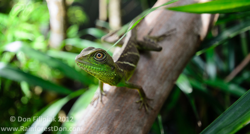 Asian Water Dragon (<i>Physignathus cocincinus</i>)