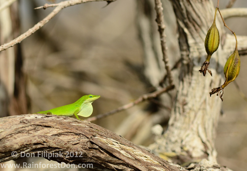 Pale-throated Anole (<i>Anolis carolinensis seminolus</i>)