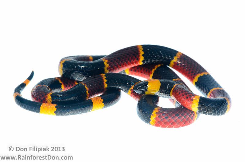 Eastern Coral Snake (<i>Micrurus fulvius</i>) Ocala National Forest, Florida October 2013