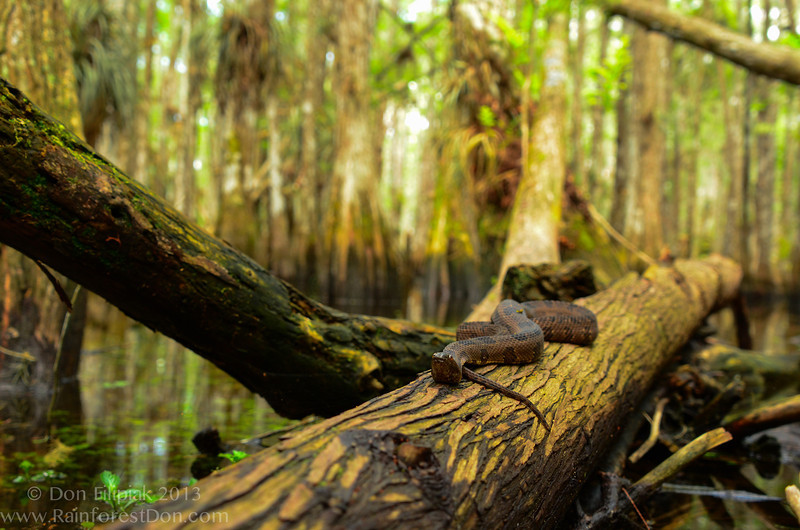 Brown water snake (<i>Nerodia taxispilota</i>) in-situ in a cypress dome in Everglades National Park, Florida April 2013