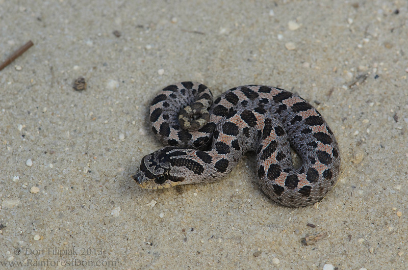 Southern Hognose Snake (<i>Heterodon simus</i>) Madison County, Florida October 2013