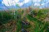 Burmese python (<i>Python molurus bivittatus</i>) Everglades National Park, Florida