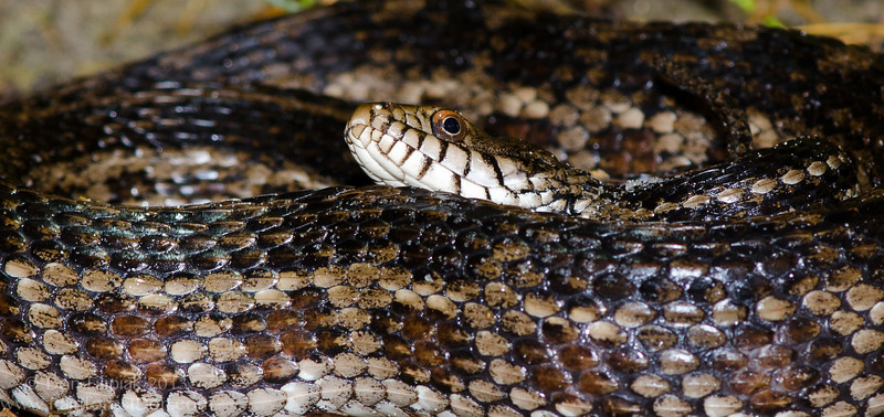 Atlantic salt marsh snake (<i>Nerodia clarkii taeniata</i>) Range restricted and federally threatened