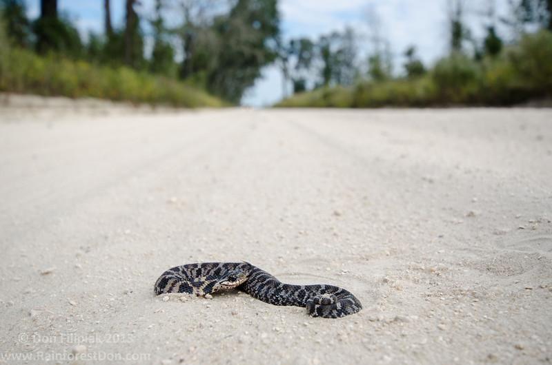Eastern hognose snake (Heterodon platirhinos) Juvenile, <I>in-situ</i> Madison County, Florida October 2013