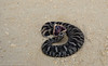 Eastern Hognose Snake (<i>Heterodon platirhinos</i>) Madison County, Florida October 2013
