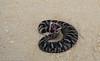 Eastern Hognose Snake (<i>Heterodon platirhinos</i>) Madison County, Florida October 2013