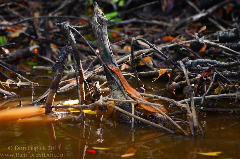 Mangrove Salt Marsh Snake (<i>Nerodia clarkii compressicauda</i>) Orange phase adult, as seen while kayaking