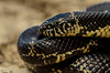 Eastern Kingsnake (<i>Lampropeltis getula</i>) Seminole County, Georgia September 2013