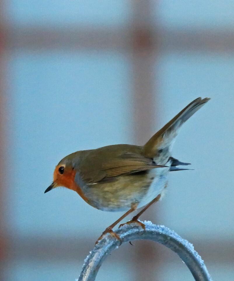 Robin on frosty perch