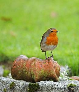 Regular garden visitor