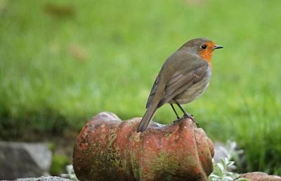 Robin in profile