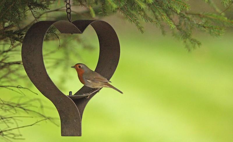 Valentine Robin