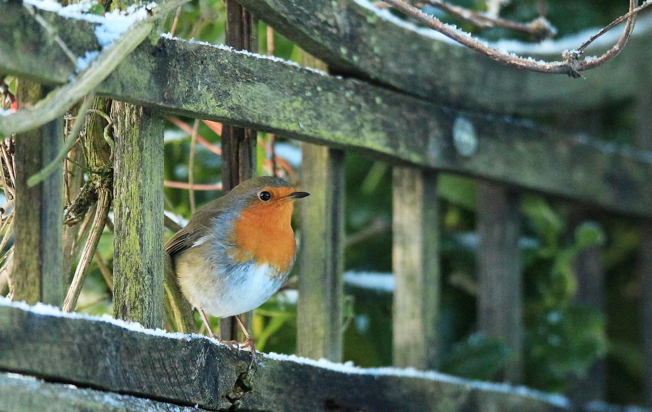 Robin on the trellis