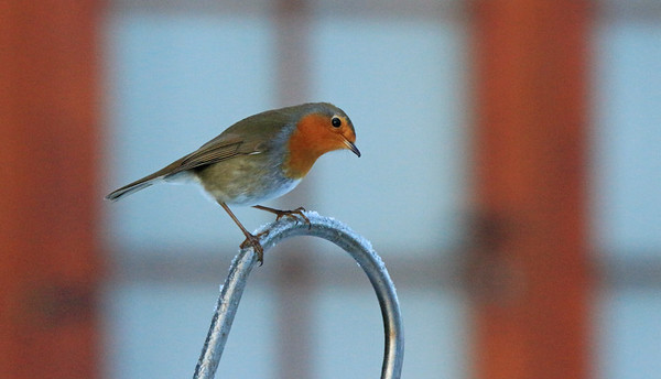 Curious robin on frosty perch