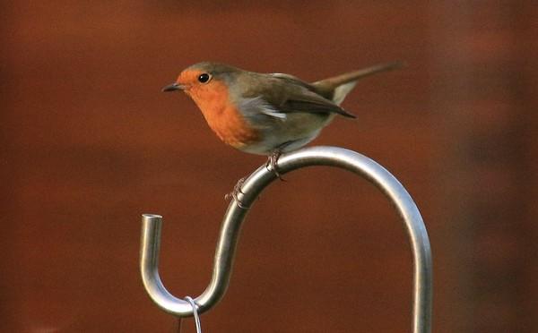 Robin on a hook