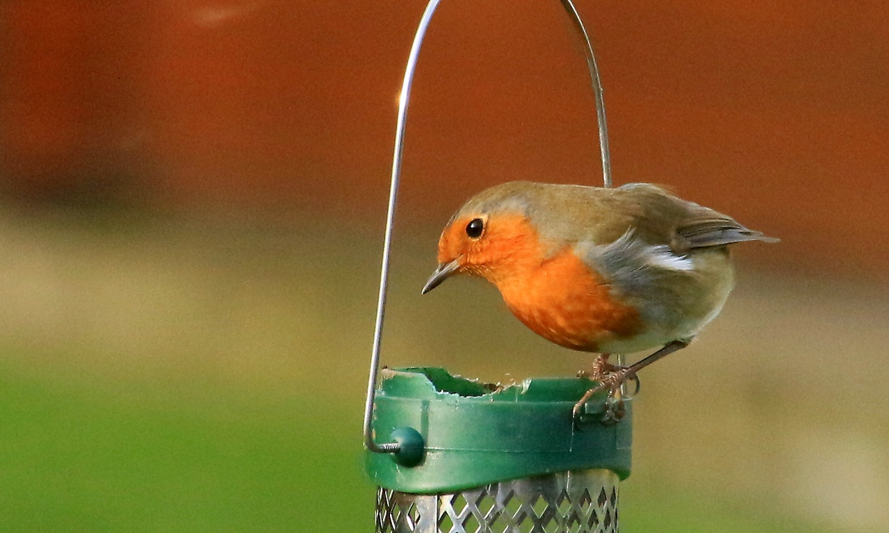 Robin at the feeder