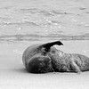 Newborn Seal #2.