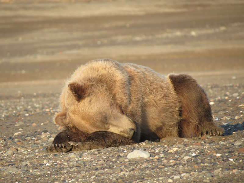 Napping Brown Bear Silver Salmon Creek Alaska