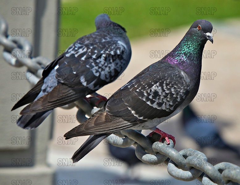 Feral Pigeons (Columba livia) on a chain in St. Augustine, FL.