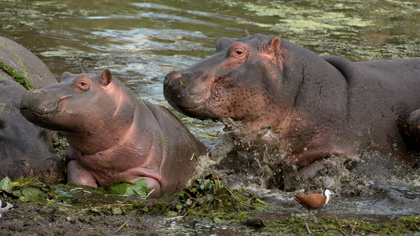 Hippo, Hippopotamus amphibius, Kruger NP, South Africa.