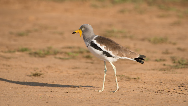 White-headed Lapwing, Vanellus albiceps, Kruger NP, South Africa.