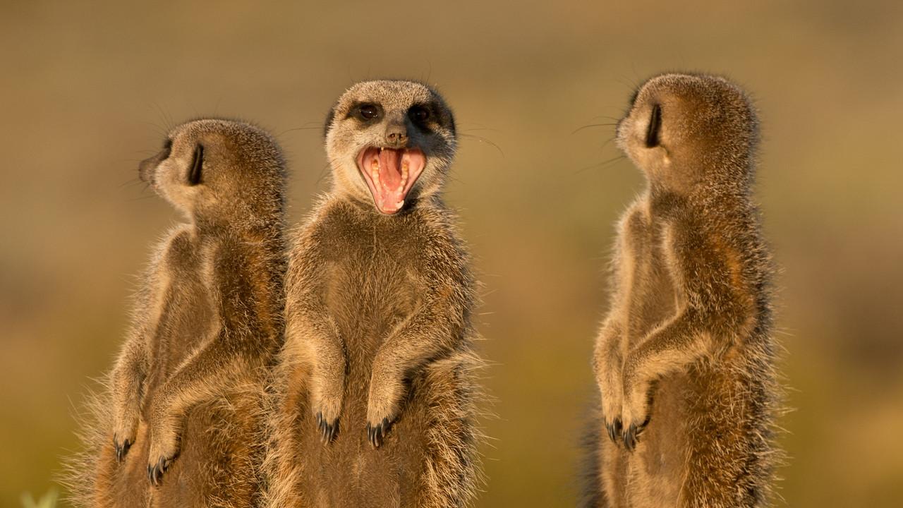 Meerkat, Suricata suricattas. Oudtshoorn, South Africa.