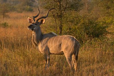 Greater Kudu, Tragelaphus strepsiceros. Kruger NP, South Africa.
