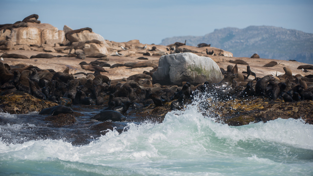 Cape Fur Seals, Arctocephalus pusillus. Seal Rock, False Bay, South Africa.
