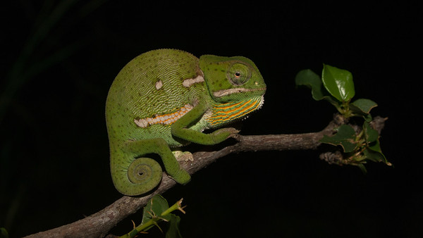 Flap-necked Chameleon, Chamaeleo dilepis. Leopard Mountain Lodge, South Africa.