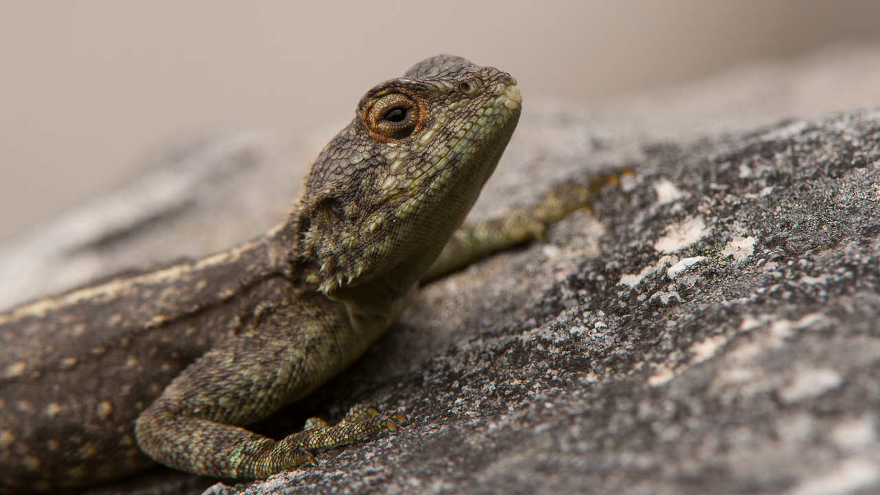 Southern Rock Agama, Agama atra. Table Mountain, Cape Town, South Africa.