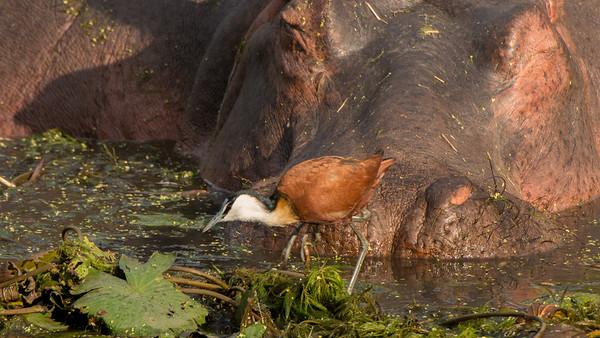 African Jacana, Kruger NP, South Africa.