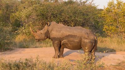 White Rhino, Ceratotherium simum, Klaserie Private Nature Reserve, South Africa.