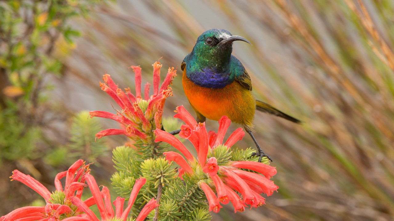 Orange-breasted Sunbird, Anthobaphes violacea. Table Mountain, Cape Town, South Africa.