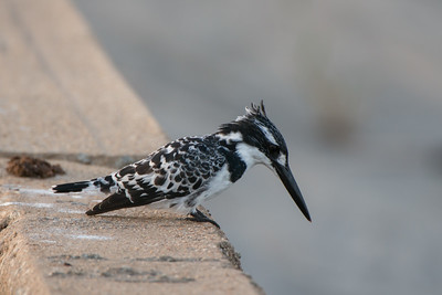 Pied Kingfisher, Ceryle rudisi, Kruger NP, South Africa.