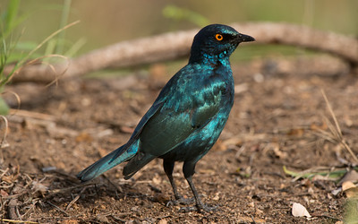 Cape Glossy Starling, Lamprotornis nitens, Kruger NP, South Africa.