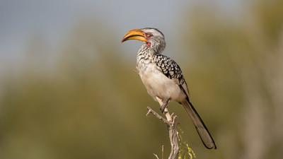 Southern yellow-billed Hornbill, Tockus leucomelas, Kruger NP, South Africa.