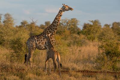 Giraffe, Giraffa camelopardalis, Kruger NP, South Africa.