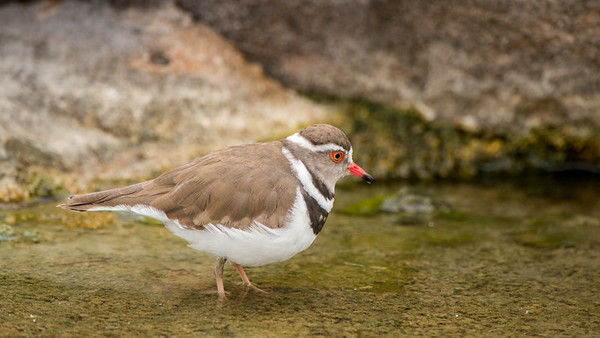 African Three-banded Plover, Charadrius tricollaris, Kruger NP, South Africa.