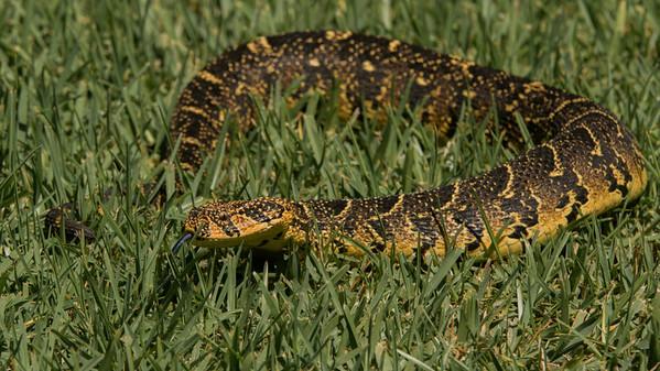 Puff Adder, Bitis arietans. Harold Porter National Botanical Garden, South Africa.