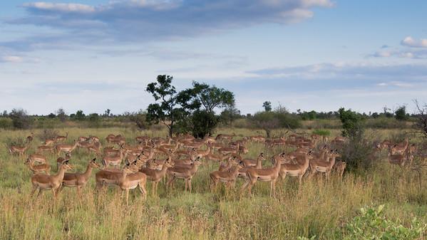 Impala, Aepyceros melampus, Kruger NP, South Africa.