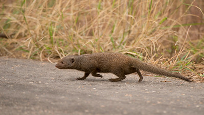 common dwarf mongoose, Helogale parvula, Kruger NP, South Africa.
