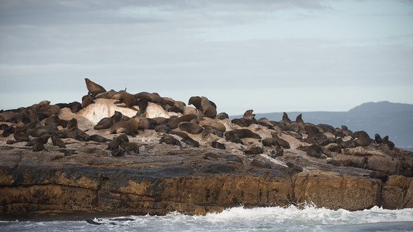 Cape Fur Seals, Arctocephalus pusillus. Seal Rock, False Bay, South Africa.