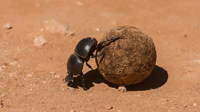 Flightless dung beetle, Circellium bacchus. Addo Elephant Park, South Africa.